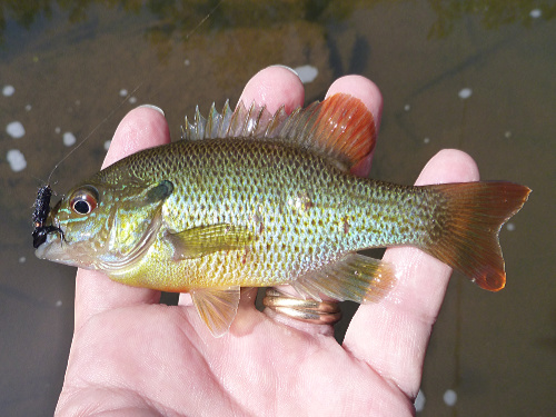 Redbreast sunfish caught with 10X tippet