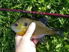 Bluegill caught with Suntech Kurenai seiryu rod.