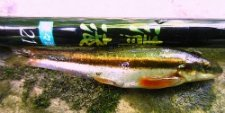 Shimotsuke Kiyotaki 21 (microfishing rod) with black nose dace.
