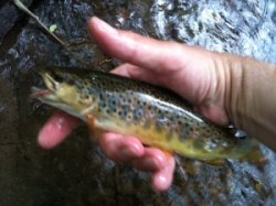Angler holding wild brown trout