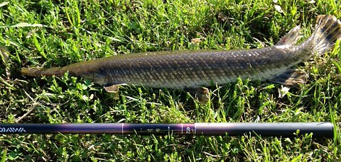 Gar caught with Daiwa Kiyose 43 M