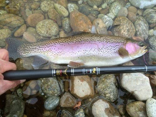 Field Master 53 and rainbow trout