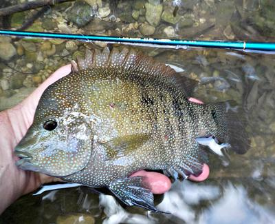 A very large Texas cichlid taken on the very small Nissin Air Stage Hakubai 240