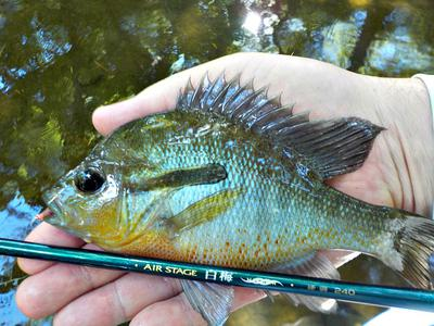 A Sunfish this Size will put a Deep Bend in the Hakubai