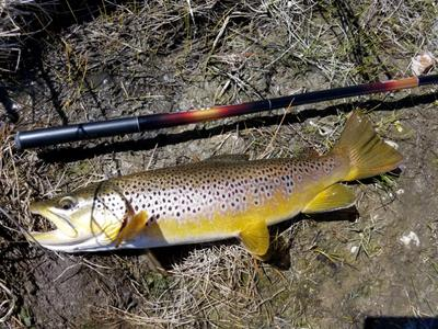 Largest brown to date