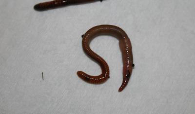 Perfect Fishing Worm