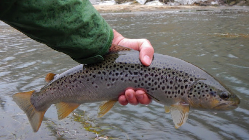 Angler holding nice brown trout