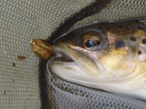 Trout in net with Rodio-craft Blinde Flanker .5g Gold spoon in its mouth