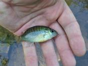 bluegill sunfish - bpfrocket