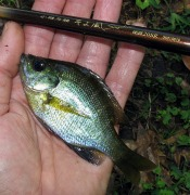 bluegill sunfish - atenkley