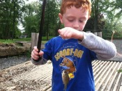 bluegill sunfish - graham-cracker