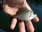 bluegill sunfish - tpalka