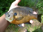 bluegill sunfish - thelifeamphibious