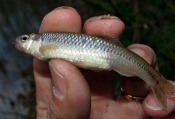 Bluntnose Minnow - atenkley