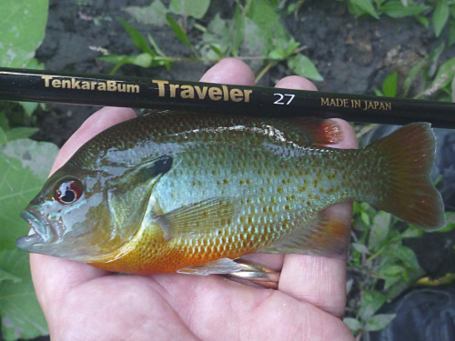 Red Breast Sunfish