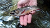 brook trout - Jeff S