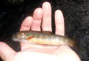 brook trout - kayak_chris