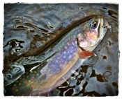 brook trout anthony