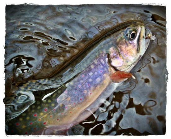 Brook Trout - anthony