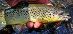 brown trout - Alan D.