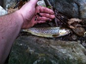 brown trout - klags