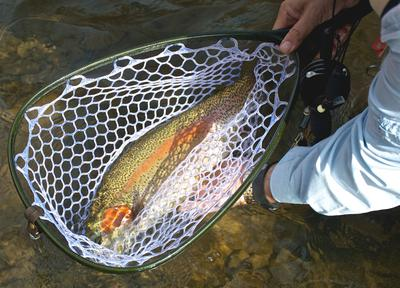 Large rainbow trout in net
