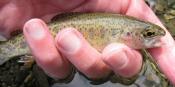coastal-cutthroat-trout - Daryl M