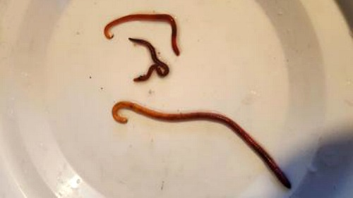 Three different species of worm used in vermiculture.