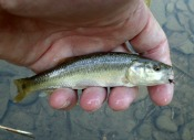 creek chub - dwalker