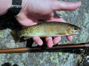 cutthroat trout - goneflyfishing