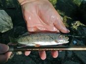 cutthroat trout - tanagobum