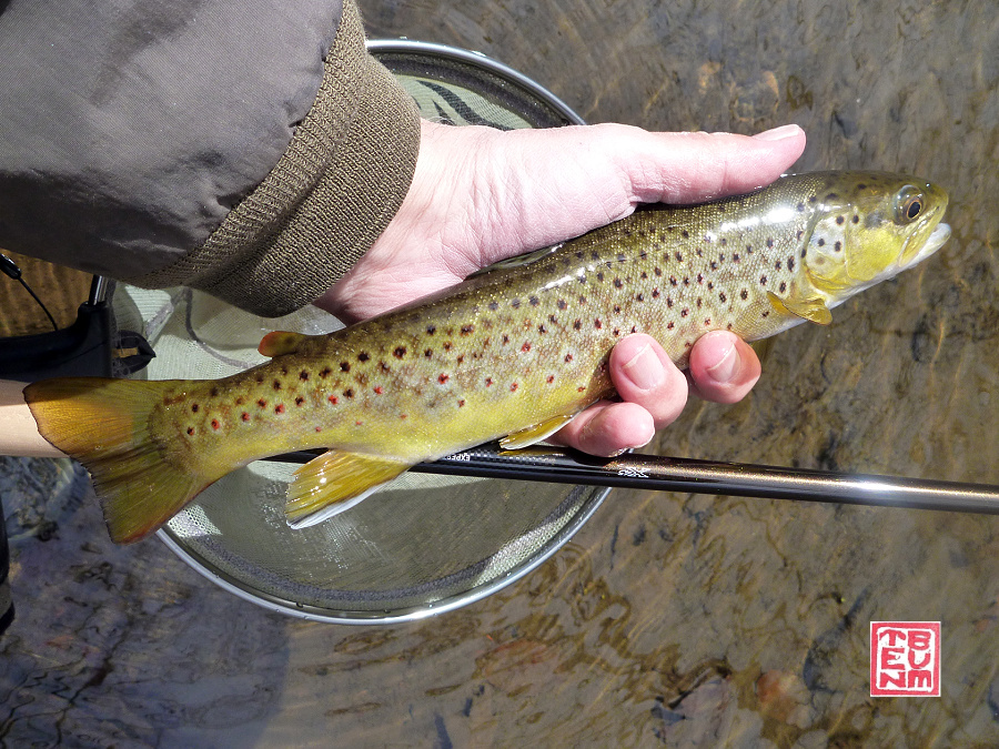 Brown trout caught with Daiwa Expert L LL36.