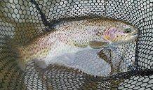 First tenkara fish on the Soyokaze- A 14