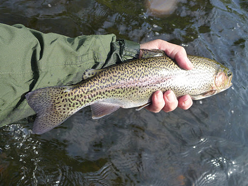 Angler holding nice rainbow trout