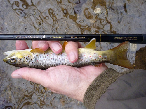 Nissin Fine Mode Nagare 330 and brown trout