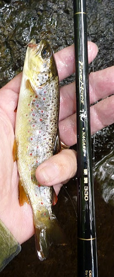 Fine Mode Nagare 33 with small brown trout.