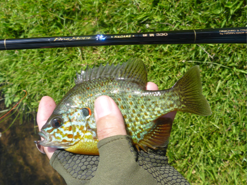 Pumpkinseed sunfish caught with microspoon.