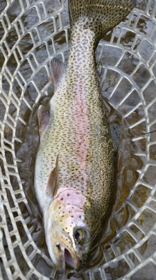 Nice rainbow trout in the net