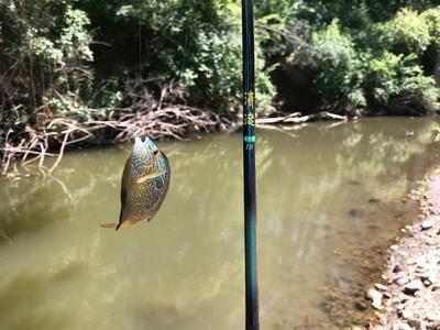 First fish, a bull Long Ear Sunfish
