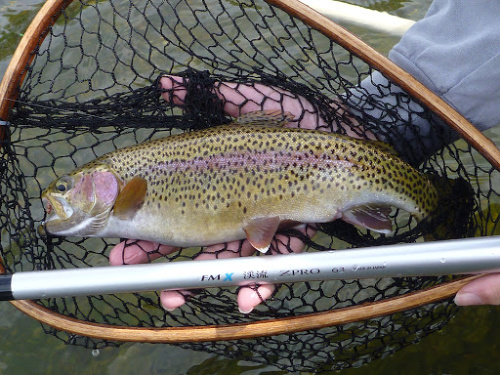 Rainbow from the White River (AR), caught with a dead drifted Killer Bug.