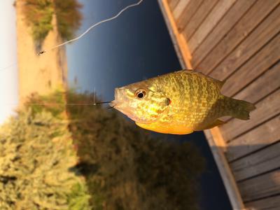 Smaller Sunfish
