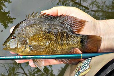 A cichlid this size will push the Nissin Air Stage Hakubai 240 to its limit.