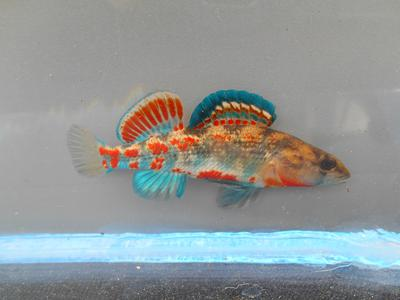 Brook Darter male