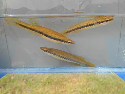 Topminnows