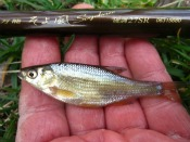 golden shiner - Alan D.