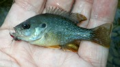 green sunfish - dwalker