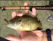 green sunfish - jchico