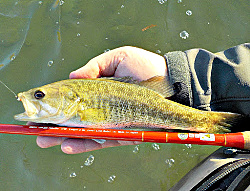 Angler holding Guadalupe Bass and Tenryu Furaibo TF39 tenkara rod