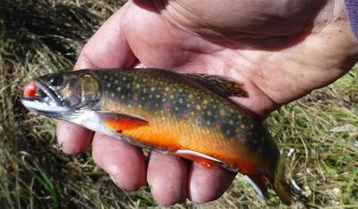 Beautiful Brook Trout