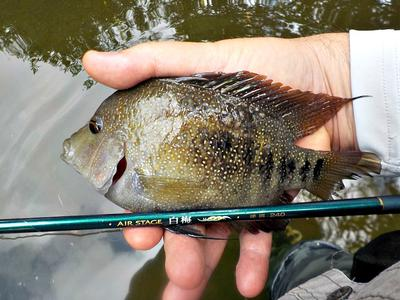 This fat cichlid slammed the Black Thread-and-Hen on the Nissin Air Stage Hakubai 240.